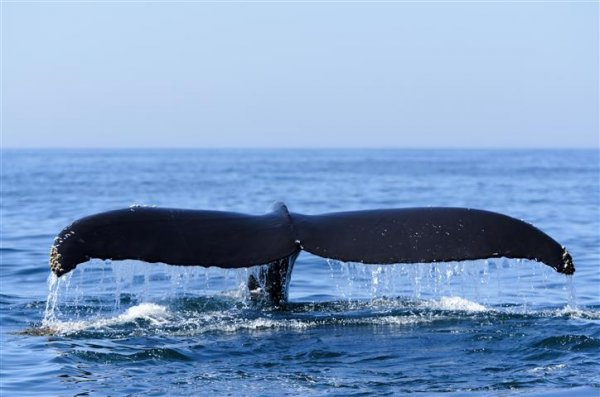 Humpback Whale Fundy (Small).jpg