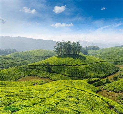 TeaplantationCustom.jpg