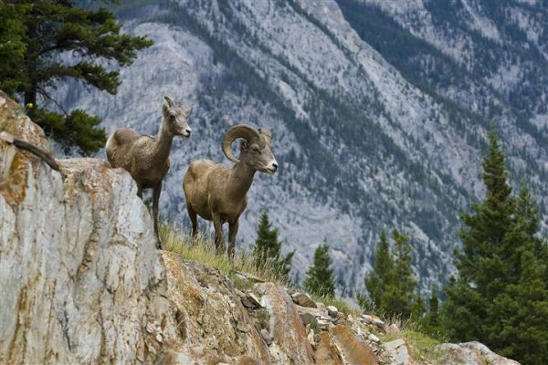 bighorn-sheep-banff.jpg