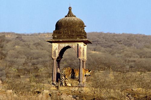 north-india-tiger.jpg