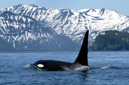 vancouver-killer-whale.jpg