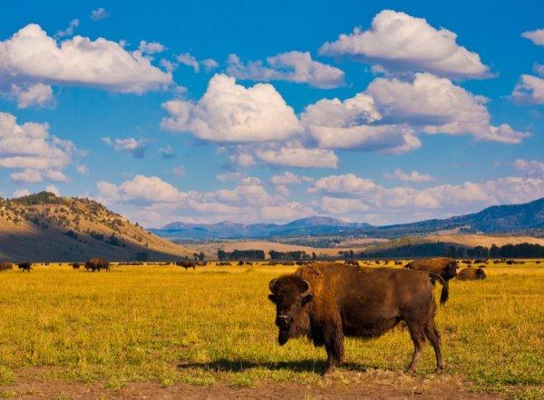 yellowstone_np_bison.jpg